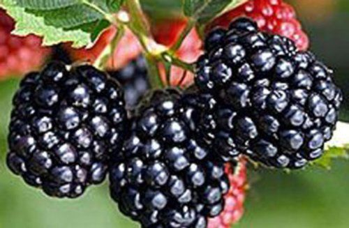 Blackberry Triple Crown - Fruit Garden Thornless Bare Root Plant - 3 plants - Rancupid Mall