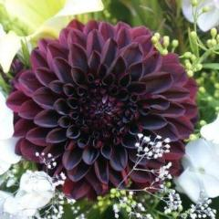 "7+ DAHLIA ""BLACK BEAUTY"" FLOWER SEEDS / ANNUAL / PERENNIAL / VERY RARE! - Rancupid Mall"