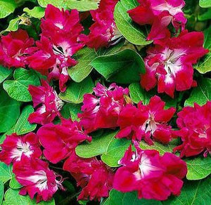 18+ MORNING GLORY SUNRISE SERENADE FLOWER SEEDS / RUBY RED DOUBLES / IPOMOEA
