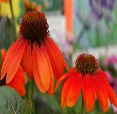 Echinacea Somrero Series ORANGE CONEFLOWER Seeds! - Rancupid Mall