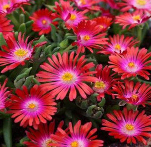 "30+ DELOSPERMA CARMINE RED FLOWER SEEDS / ICE PLANT / HEAT & COLD HARDY 4"" HIGH - Rancupid Mall"
