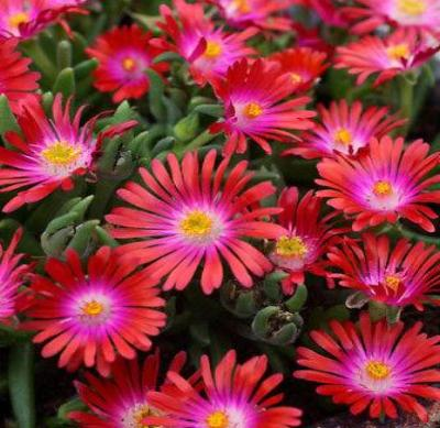 30+ DELOSPERMA CARMINE RED FLOWER SEEDS / ICE PLANT / HEAT & COLD HARDY 4