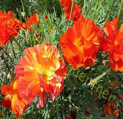 40+ POPPY THAI SILK BUSH MIX FLOWER SEEDS / PAPAVER / DEER & RABBIT RESISTANT - Rancupid Mall