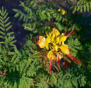 Caesalpinia gilliesii YELLOW BIRD OF PARADISE SHRUB Seeds! - Rancupid Mall