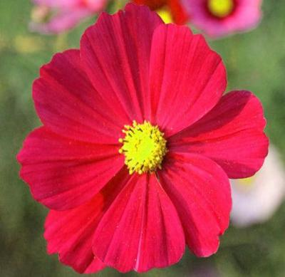 COSMOS SONATA RED DWARF Cosmos Bipinnatus - 100 Seeds - Rancupid Mall