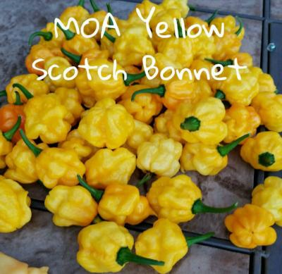 (25+) MOA Yellow Jamaican Scotch Bonnet Pepper Seeds - Rancupid Mall