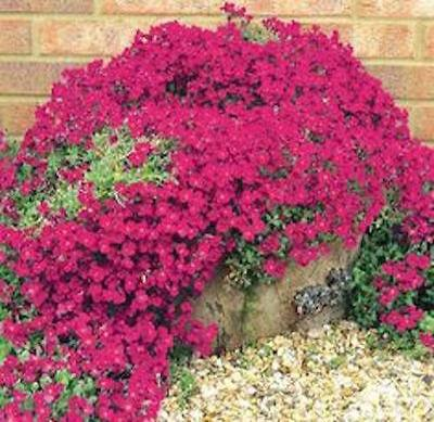 50+ AUBRIETA ROYAL RED, ROCK CRESS FLOWER SEEDS, PERENNIAL , DEER RESISTANT ! - Rancupid Mall
