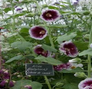 10+ HOLLYHOCK CREME DE CASSIS FLOWER SEEDS / HEIRLOOM / ALCEA ROSEA / PERENNIAL - Rancupid Mall