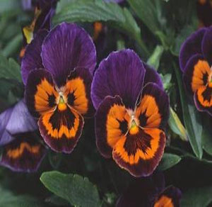 35+ PANSY JOKER POKER FACE aka VIOLA FLOWER SEEDS, COOL WEATHER PLANT PERENNIAL - Rancupid Mall