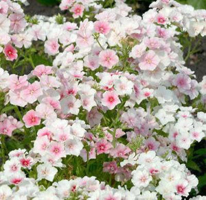 30+ PHLOX BLUSHING BRIDE FLOWER SEEDS / FRAGRANT / SELF SEEDING / PERENNIAL - Rancupid Mall