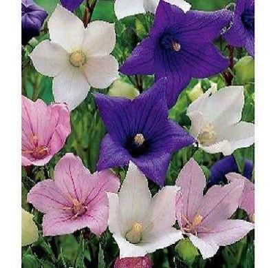 40+ BALLOON PLATYCODON MIX FLOWER SEEDS / GRANDIFLORUS / PERENNIAL / EXTRA TALL - Rancupid Mall