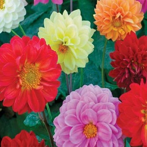25+ DAHLIA OPERA MIX FLOWER SEEDS / ANNUAL - PERENNIAL / EASY TO GROW - Rancupid Mall