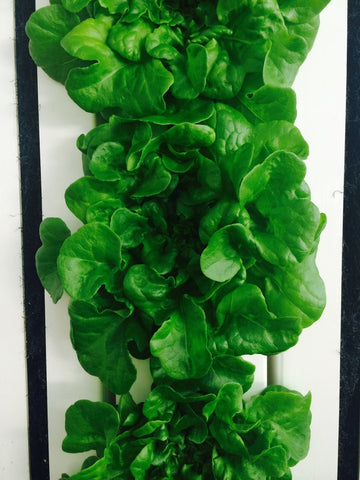 Green Oakleaf Lettuce (1qty = 1lb)--Not sold online