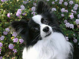 Papillon Companion Dog - Inspiration for Papillon Art Mobile by AtomicMobiles.com