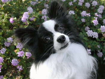 Papillon Dog inspiration for Papillon Modern Art Mobile by AtomicMobiles.com