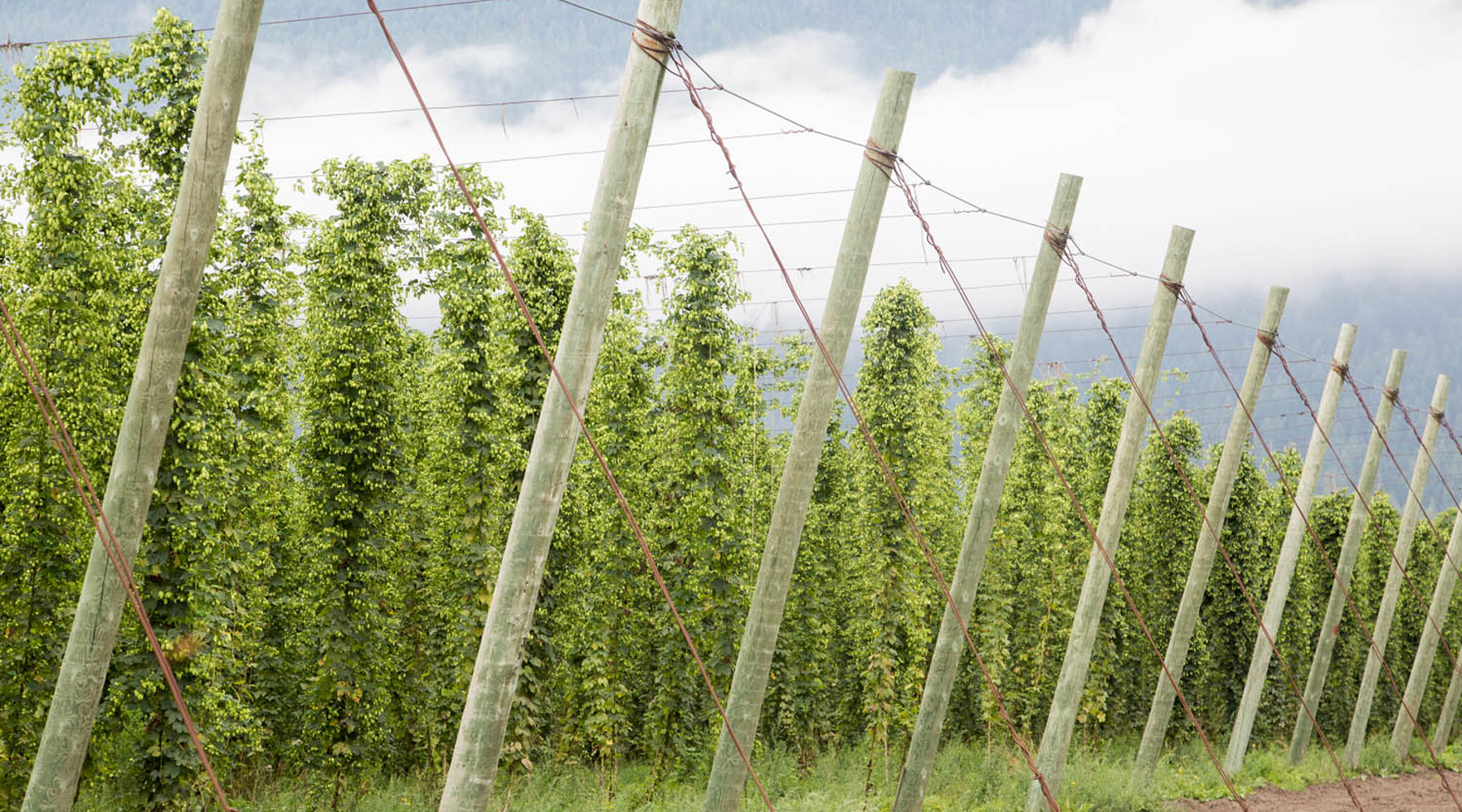 Hop Fields at Hop Farm