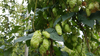 Nelson Sauvin Hop Plant on the Vine in Nelson