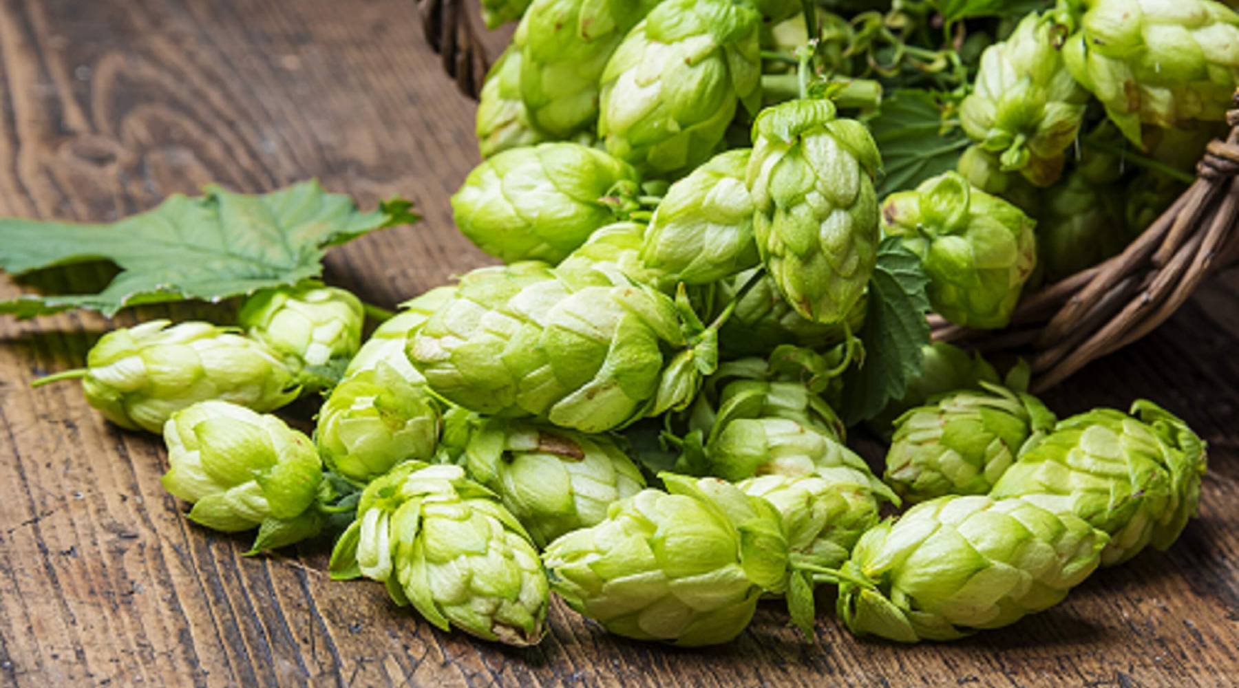 Citra Hops Spilling out of Basket