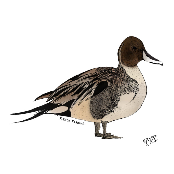 Pintail duck print