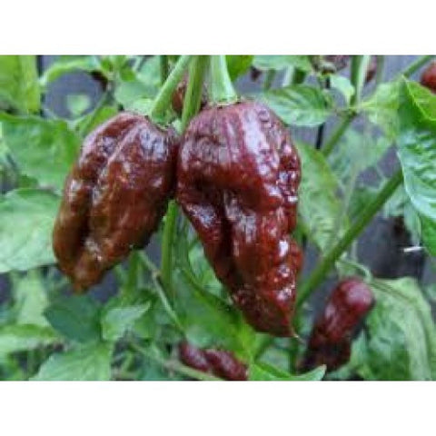Bhut Jolokia - Ghost chili - Flere varianter-ChiliBiksen