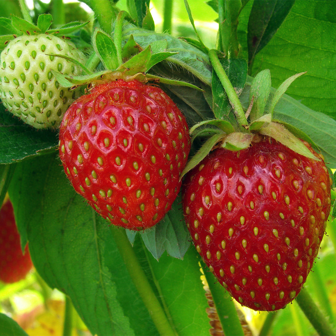 Are Strawberries Really Healthy? Grow Your Own!