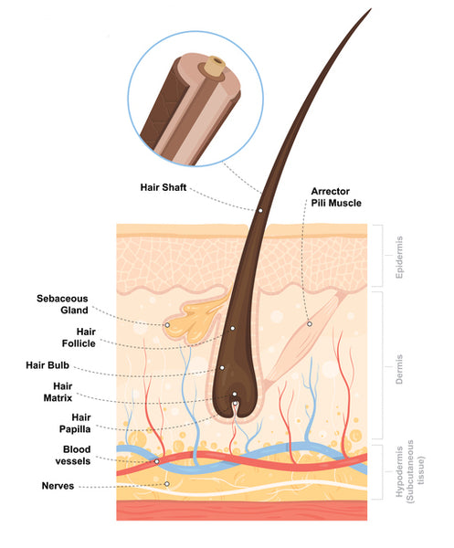 The Anatomy of The Hair Follicle.