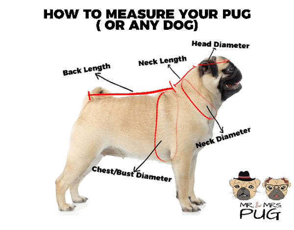 How To Measure Your Pug ( Or Any Dog ) - Mr. & Mrs. Pug