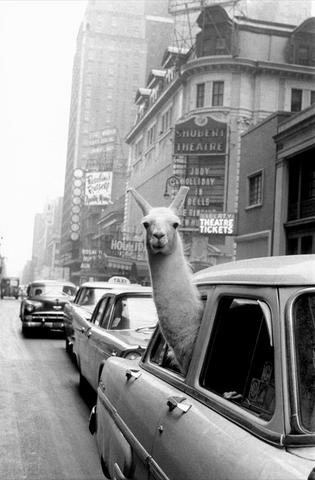 A Lama in New York by Inge Morath