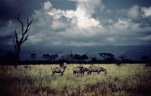 Zebras and Tree Kenya by Barbara Parkins