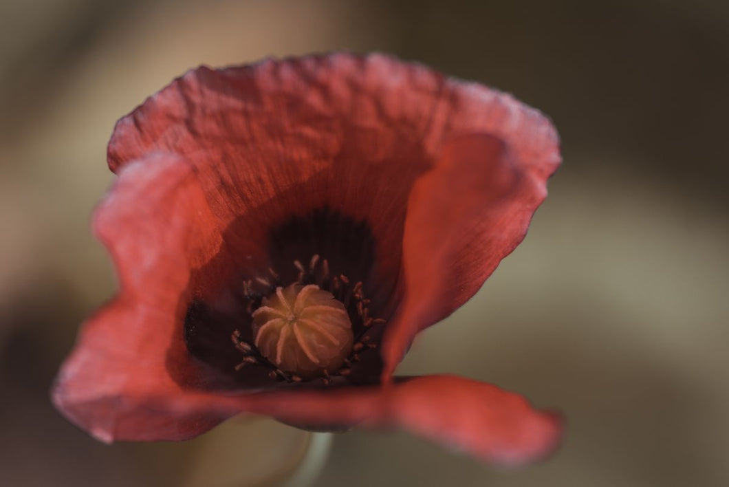 Poppy Flower by Tatiana Kuzyk.