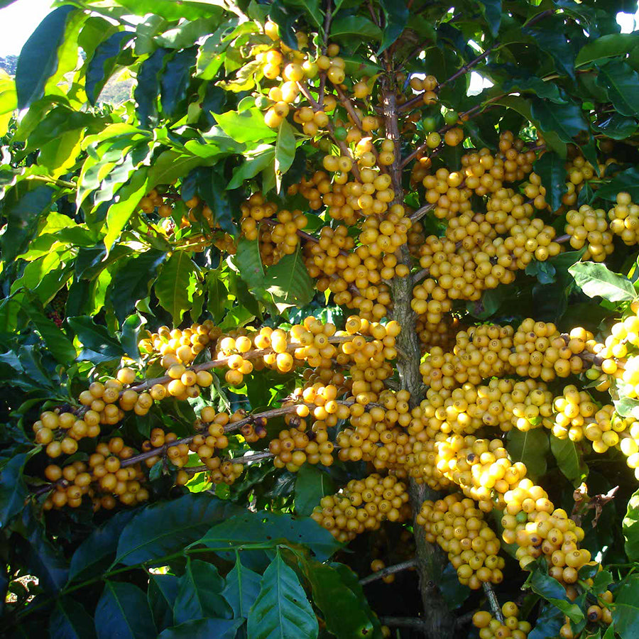 Brazil Yellow Bourbon plant