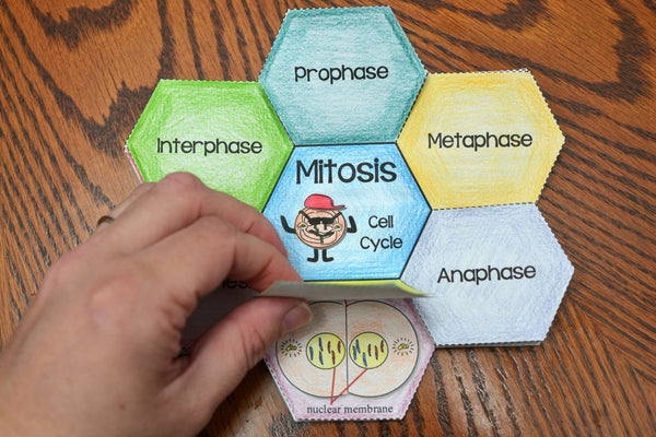 Mitosis Flower Foldable