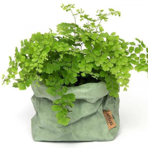 Salvia Uashmama Paper Bag (Multiple Sizes)