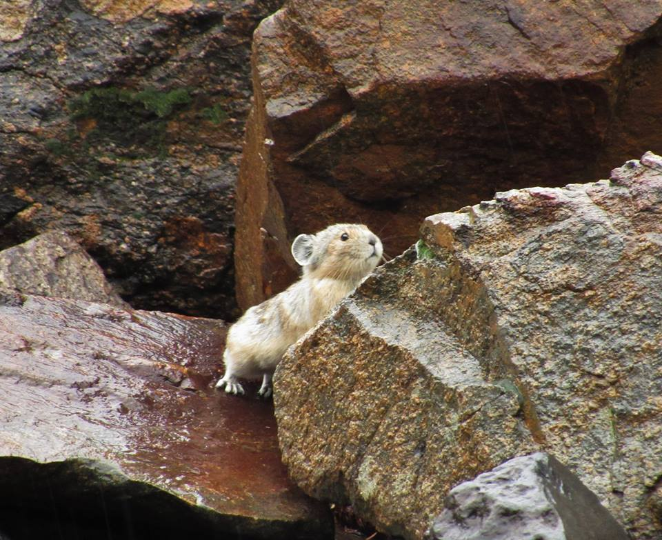 Studying The Effects of Climate Change on American Pika