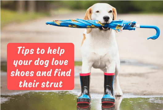 Tips to help your dog love shoes and find their strut