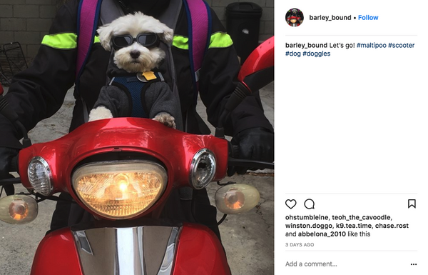 Maltipoo on bike in doggles