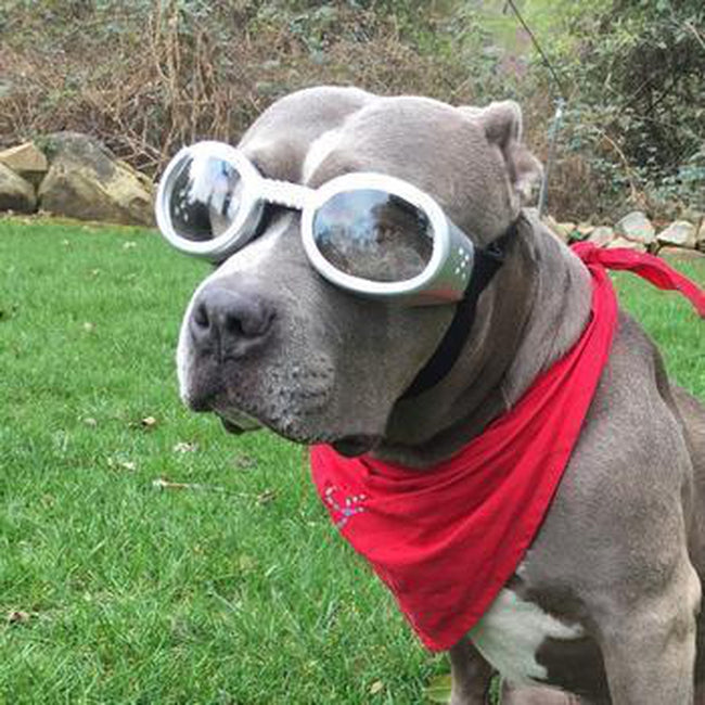 Doggles - ILS Silver Frame with Clear Lens, Pet Accessories, Furbabeez, [tag]