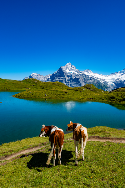 COWS IN BACHALPSEE 2 poster