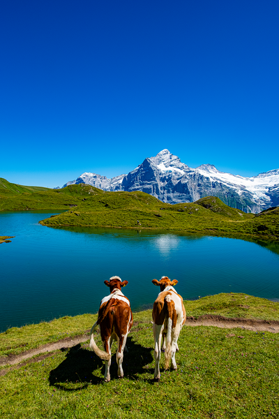 COWS IN BACHALPSEE poster