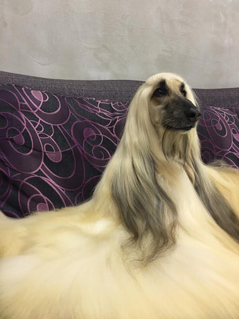 Afghan Hound Grooming Video Tutorial