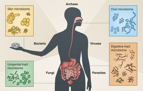 different types of microbiomes in the human body MERUMAYA skincare