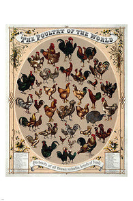 1868 vintage THE POULTRY OF THE WORLD poster 24X36 BREEDS of fowl COLLECTORS