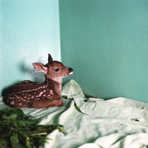 Annie Marie Musselman, Rescued Fawn, 2008