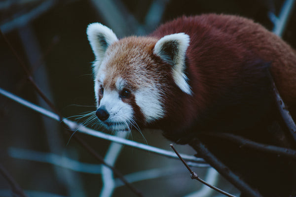 One Million Acres Rainforest Red Panda