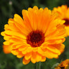 Calendula Essential Oil for Wound Healing, Sensitive Skin and Baby Care