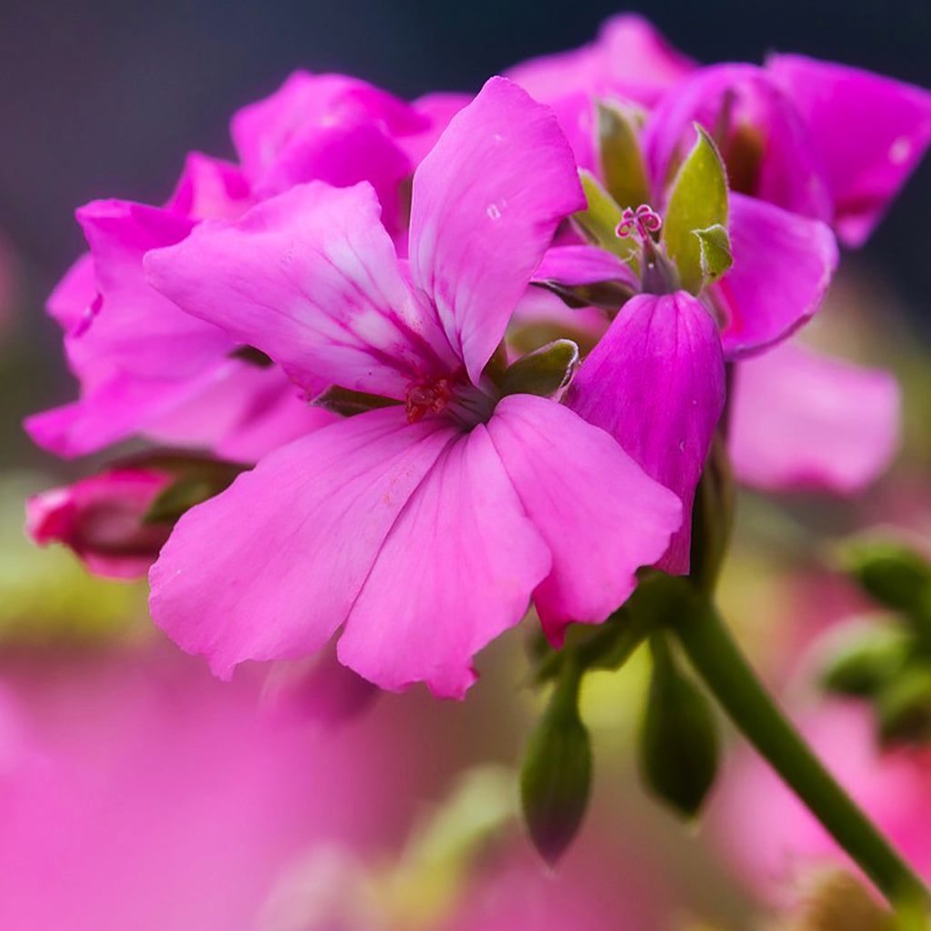 Geranium Essential Oil for Cancer Prevention, Nervous Tension and Mind Concentration