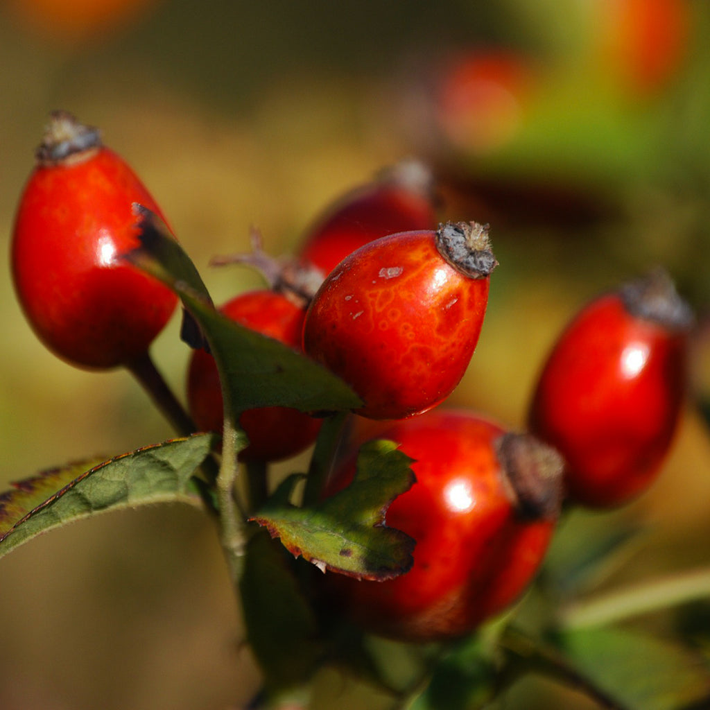 Rosehip Essential Oil for Arthritis Relief and Healthier Skin