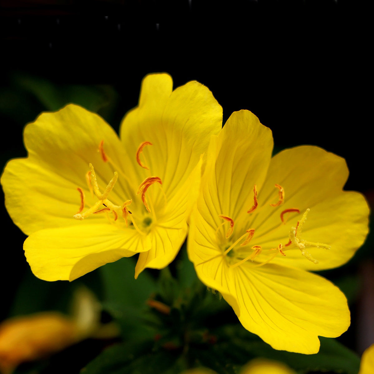 Evening Primrose Carrier Oil for Fertility Boost, Youthful Skin and Arthritis Relief