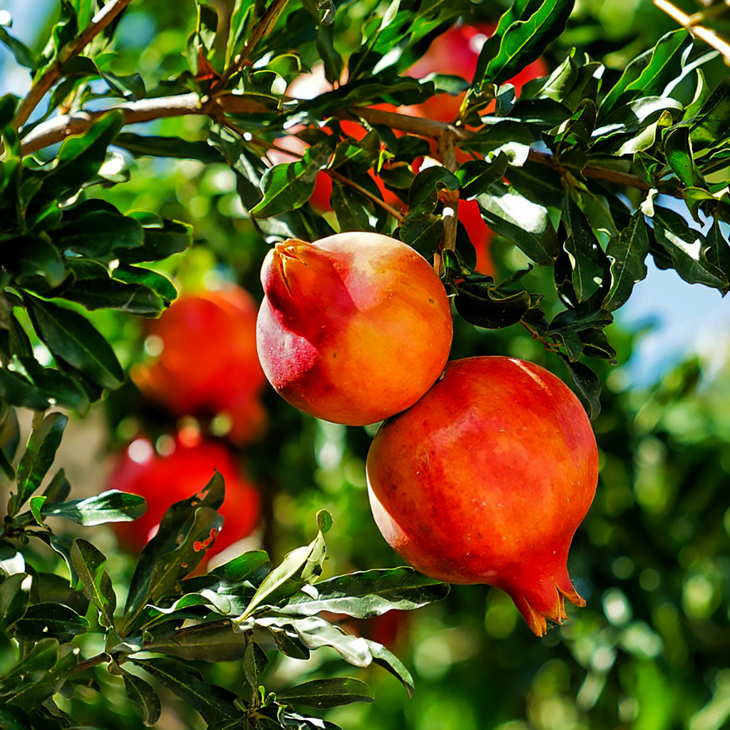Pomegranate Carrier Oil for Healthy Skin and Breast Cancer Prevention