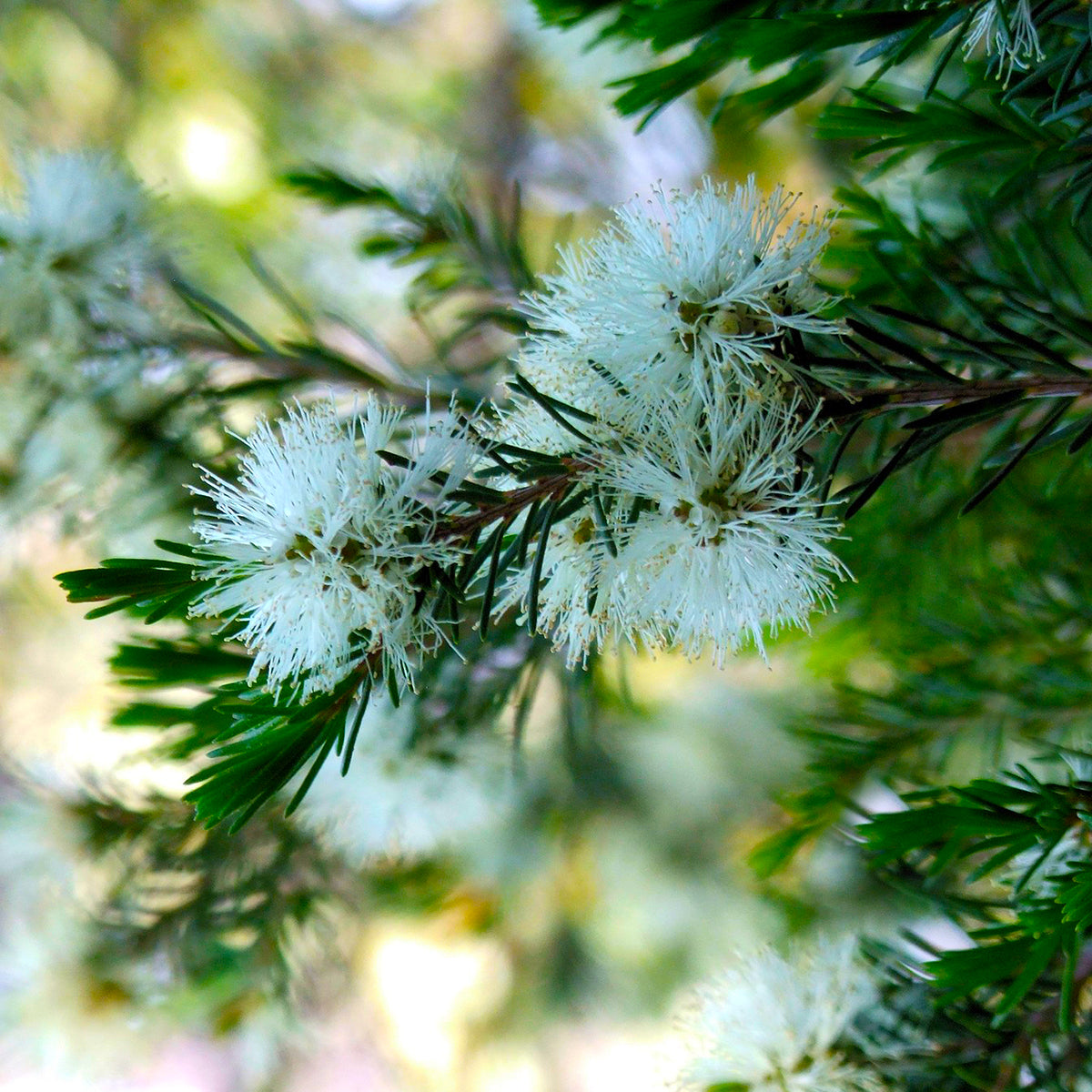Tea Tree Essential Oil for Treating Skin Disorders and Fungal Infections